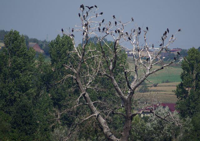 Wielikąt kolonia kormoranów