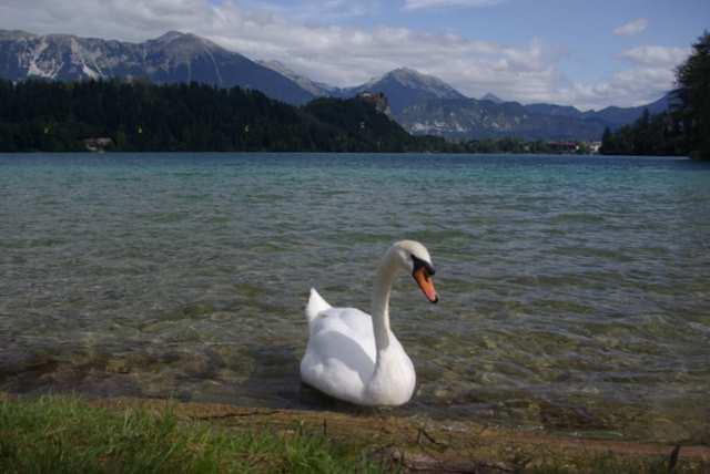 Jezioro Bled, łabędź