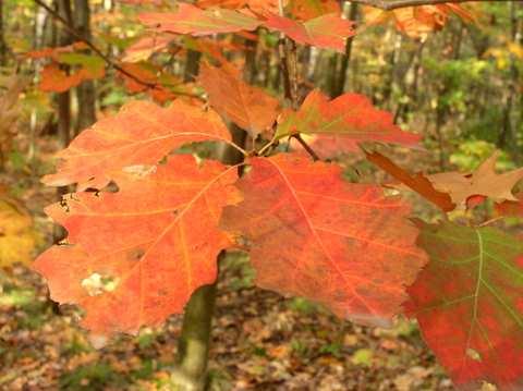 Jesienny liść - Dąb czerwony