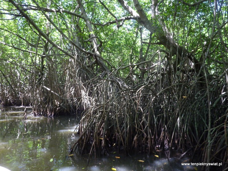 Mangrowce, lasy namorzynowe