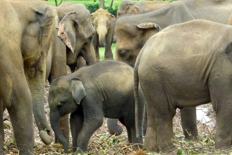 Sierociniec słoni w Pinnawela
