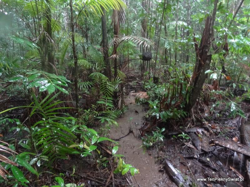 dżungla, ścieżka przez las