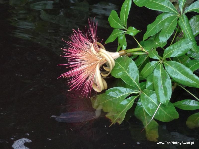 kakao wodne kwiat