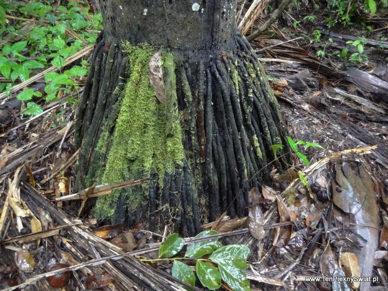 Palma , korzenie drzewa