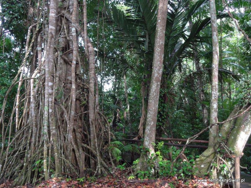 Mis Palafitos dżungla drzewa